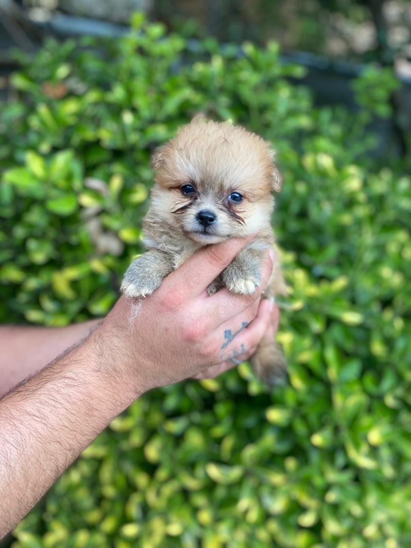 سگ پامر باکیفیت